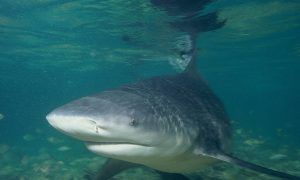Bull Shark Caught in Australian Backyard Waters, Warning Issued