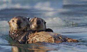 Sea Otter Awareness Week 2014