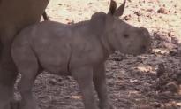 Rare Female White Rhino Born in Israel (Video)