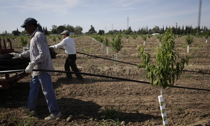 Farm workers install a drip irrigation system in a peach orchard in Yuba City, Calif. Switching to drip irrigation systems in agriculture is one of several ways to conserve water recommended by Canadian researchers. (AP Photo/Jae C. Hong)