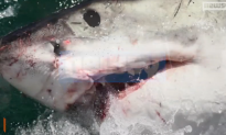 Great White Shark Attacks Two Off Coast of Massachusetts (Video)