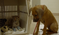 Puppy Helps Cheetah Cub Recover from Surgery (Video)