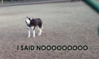 Howling Husky Doesn't Want to Go Home (Video)