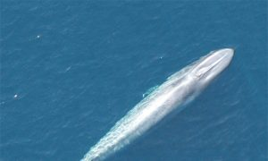 Good News for Conservation--Blue Whale Recovered