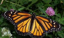 Monarch Butterfly Considered for Endangered Status