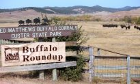 The Wild West Comes Alive at South Dakota's Annual Buffalo Roundup