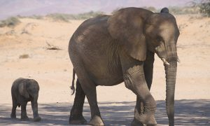 Zambia Ends Trophy Hunting Ban, Elephants Fair Game