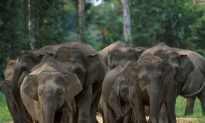 Pygmy Elephants Lose Forest to Palm Oil Plantations