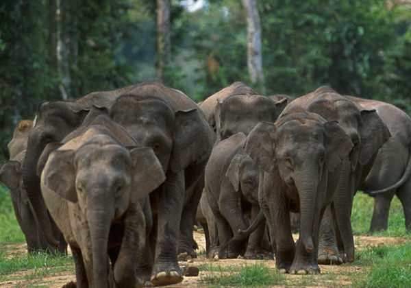 Borneo elephants (Elephas maximus borneensis) are also known as Borneo pygmy elephants, but are not significantly smaller than other Asian elephants. Photo by Cede Prudente, WWF Malaysia.