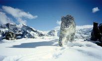 India Plans to Save Endangered Snow Leopard
