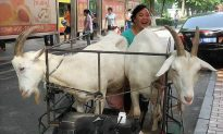 Milking Goats in the City: China's Rural to Urban Collission