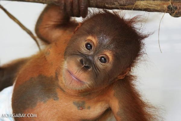 An orphaned Sumatran orangutan at a rescue facility run by the Sumatran Orangutan Conservation Programme