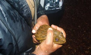 Frogs Still Affected by Logging, After 40 Years