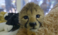 San Diego Zoo Welcomes Cheetah Cubs (Video)