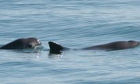 World's Smallest Porpoise is Critically Endangered