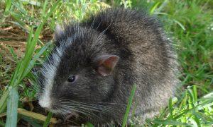 'Extinct' Mammal Rediscovered in Peru