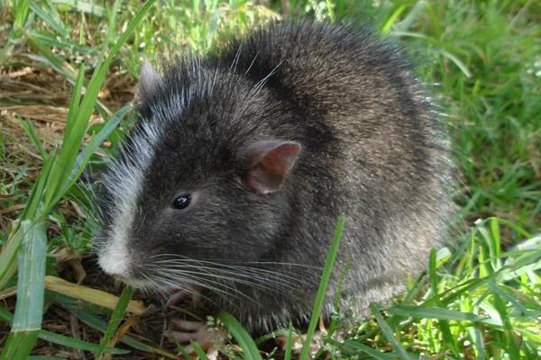 The Machu Picchu arboreal chinchilla rat come back to life! Photo by: Roberto Quispe.