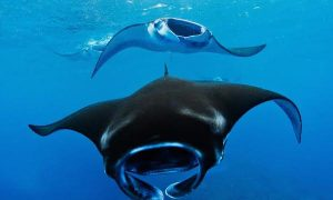 Illegal Manta Ray Trader Arrested in Indonesia