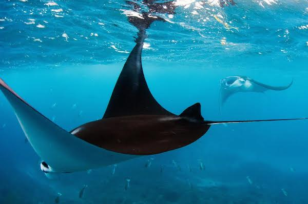 The giant oceanic (Manta birostris) and reef mantas ( Manta alfredi) are both listed as Vulnerable by the IUCN. Photo by Paul Hilton, Greenpeace.