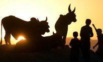 Cattle Sun