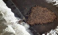 Throng of 35,000 Walruses Is Largest Ever Recorded on Land, Sign of Warming Artic