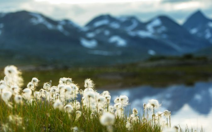 Arctic cotton flowers (Shutterstock*)