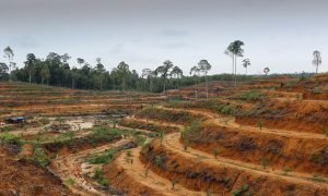 Report Rates Palm Oil Companies on Sustainability