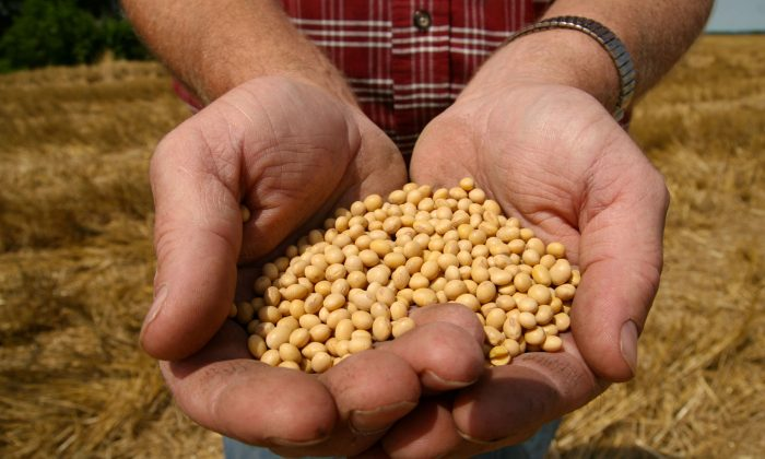 FILE - In this July 5, 2008 file photo, a farmer holds Monsanto Soy Bean seeds at his family farm in Bunceton, Mo. Monsanto Company reports quarterly financial results on Wednesday, Oct. 8, 2014. (AP Photo/Dan Gill, File)