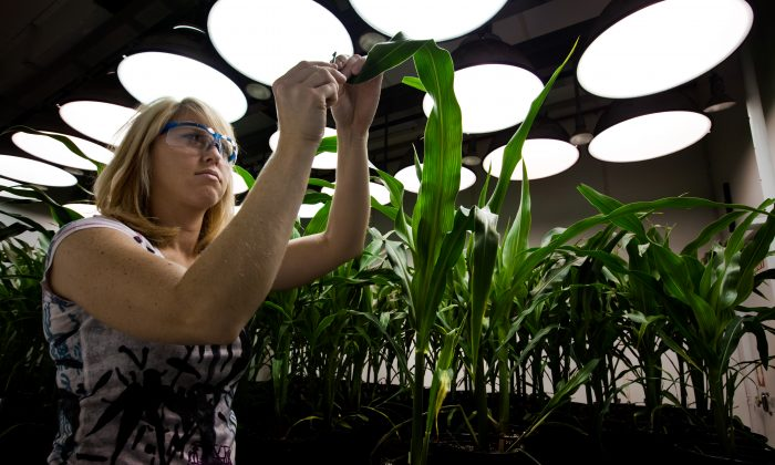 Research Biologist Heidi Windler takes tissue samples from genetically modified corn plants inside a climate chamber housed in Monsanto agribusiness headquarters in St Louis, Missouri, 21 May 2009. (Brent Stirton/Getty Images.)