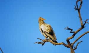 Vultures in India Endangered by Toxic Chemicals
