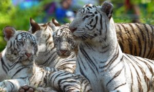 India's Tiger Protection Squad Ensures No Poaching
