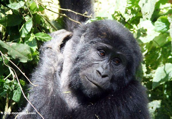 Eastern gorillas (Gorilla beringei) are listed as Endangered by the IUCN and are dependent on forests. Two subspecies exist. The eastern lowland gorilla (G. b. graueri) is the most populous, estimated at 5,000 individuals in the DRC as of a 2010 report by the UN Environment Programme. The other, the mountain gorilla (G. b. beringei, pictured), is thought to number only 700 individuals, which range over small regions of the DRC, Uganda, and Rwanda. Photo by Rhett A. Bulter