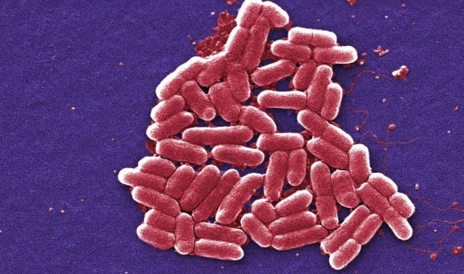 Gram-negative Escherichia coli bacteria ( James Joel, CC BY-NC-SA 2.0)