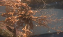 Mysterious 'Sea Alien' Identified as Basket Star (Video)