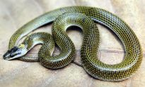 New Species of Wolf Snake Discovered in India