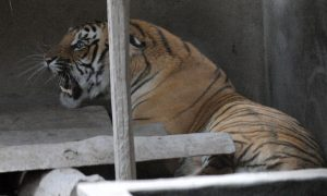 New Royal Bengal Tiger Project in India Launched