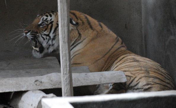An injured royal bengal tiger is seen inside an enclosure set up by park rangers at Kashara in Chitwan National Park, some 200kms southwest of Kathmandu, on December 27, 2011. (Prakash Mathema/AFP/Getty Images)
