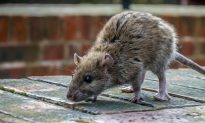 Scientists Find 18 New Viruses on NYC Rats