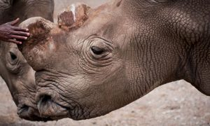 Only Six Northern White Rhinos in the World