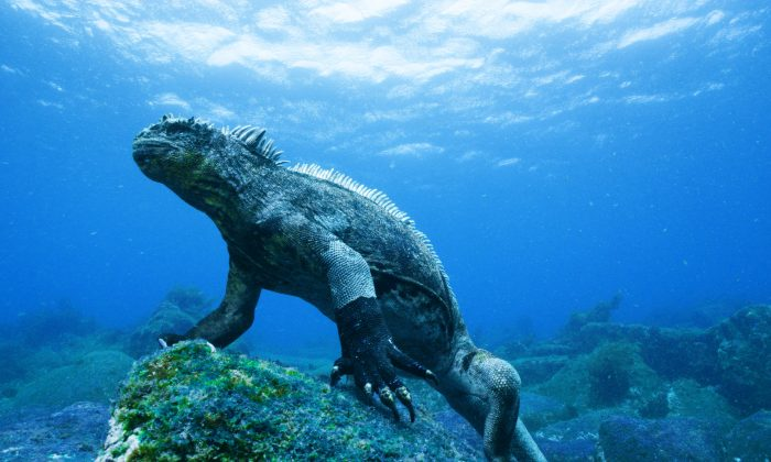 """A marine iguana stands on a rock covered in green algae in a still from """"Galapagos 3D."""" (Colossus Productions/nWave Pictures)"""