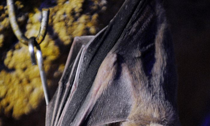A fruit bat at the Amneville zoo, eastern France, on April 22, 2010. (Jean-Christophe Verhaegen/AFP/Getty Images)