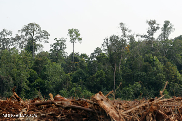 Cleared forest in Indonesia.  (news.mongabay.com)