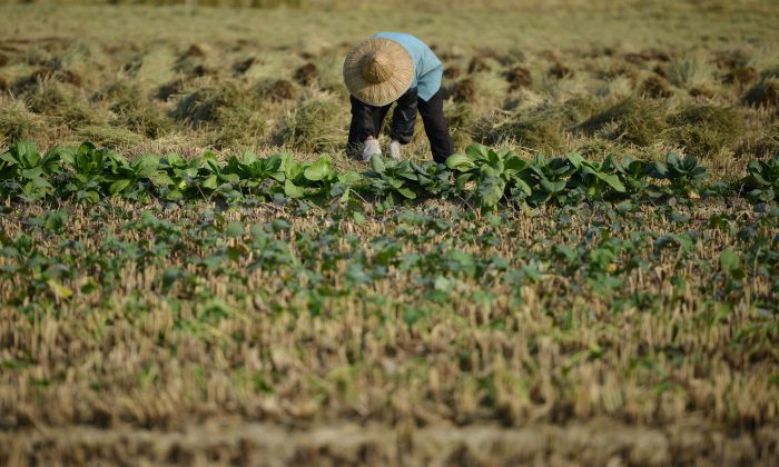A farmer harvests a crop in the village of Gangzhong in China's eastern Zhejiang province, on Nov. 19, 2013. (Peter Parks/AFP/Getty Images)