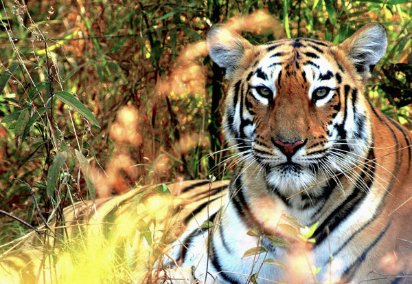 A Bengal tiger (Panthera tigris tigris) in Tadoba-Andhari Tiger Reserve in India's state of Maharashtra. Photo by Morgan Erickson-Davis.