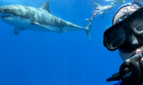 Diver Poses With Great White Shark (Video)