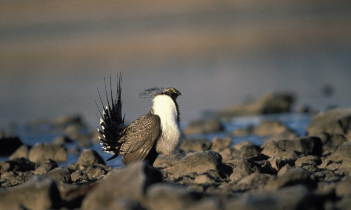A male greater sage-grouse in Clear Lake National Wildlife Refuge in California. (U.S. Fish and Wildlife Service)