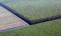 Indonesia Prioritizes Companies, not Forests