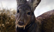 First Fanged Deer Spotted in 60 Years (Video)