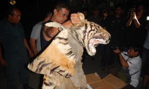 Tiger Traffickers Busted in Indonesia
