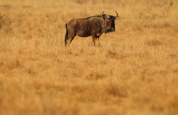 A wildebeest stands in grass land at Pilanesberg National Park on June, 2010 in Rustenburg, South Africa. Situated adjacent to Sun City, Pilanesberg is the fourth largest national park in South Africa covering a 55 000 hectare area. (Photo by Mark Kolbe/Getty Images)
